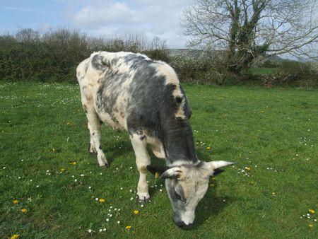 bullock animal: Irish bullock grazing in small farm in county clare, Ireland Stock Photo