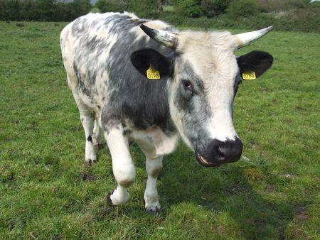 bullock animal: Bull with horns in field in rural Ireland