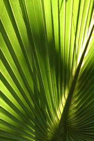 palmetto: Palmetto Fern II