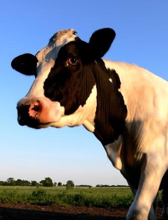 Portrait of a Black & White Cow