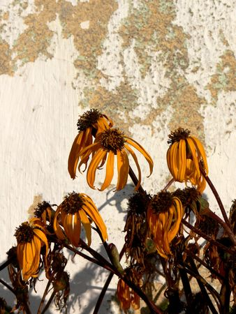withering: Withering flower by and a wall where the paint is flaking off