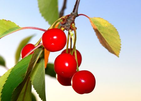 Close-up of some ripe red cherrys on a tree  Stock Photo