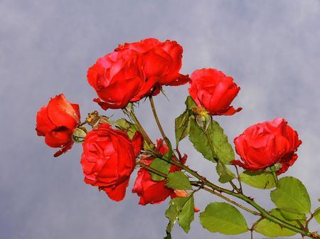 A stem with a bunch of raindrop covered roses towards a stormy sky Stock Photo