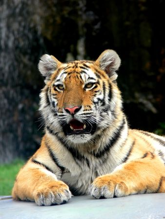 A portrait of a tiger lying down