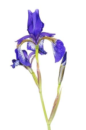 Iris close up, isolated on white photo