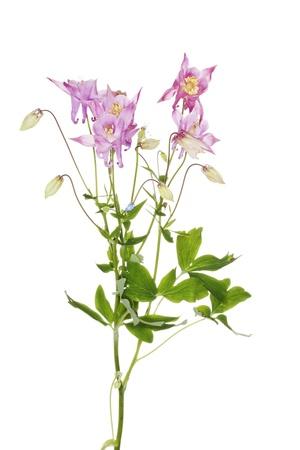 aquilegia: Aquilegia vulgaris  (European Columbine)  flower