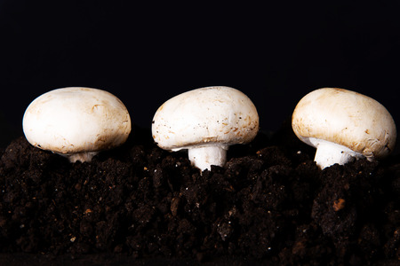 Three fresh mashrooms in the ground. photo