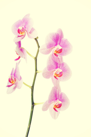 orchid branch: Branch of violet orchid flower. Stock Photo