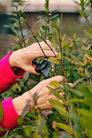 clippers: Hands cutting bush with clippers. Stock Photo