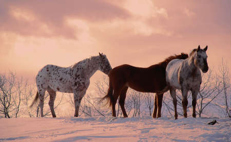 three horses standing ona hill, winter background Stock Photo