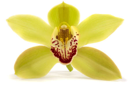 orchid isolated: A beautiful fresh orchid