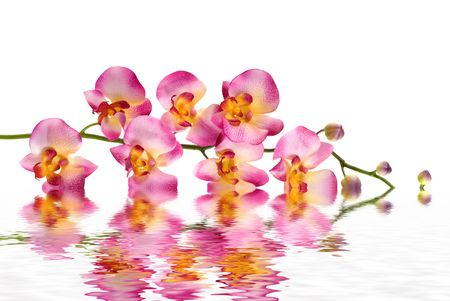A pink orchid