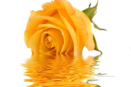 Yellow rose, engagement, anniversary and wedding rings  photo