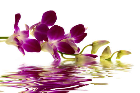 with reflection: Purple Orchid