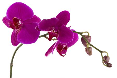 orchid isolated: Beautiful fresh orchid Stock Photo