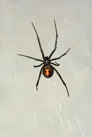 Black Widow Spider in Nevada Stock Photo