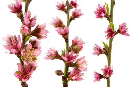 Three different peach blossoms in spring with white background