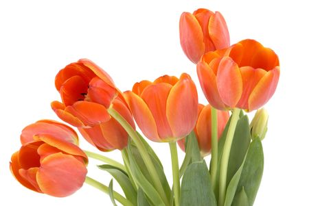Fresh elegant tulips photo