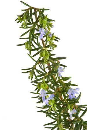 Fresh organic rosemary herb