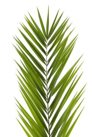 palm frond: Palm fronda isolati su sfondo bianco Archivio Fotografico