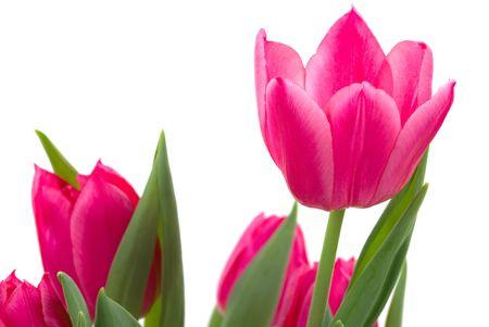 mother'sday: Elegant tulips Stock Photo