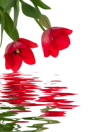 mother'sday: Elegant red tulips with water reflection
