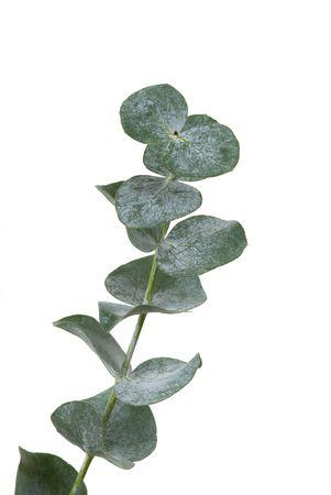 EUCALYPTUS: Eucalyptus leaf on white background