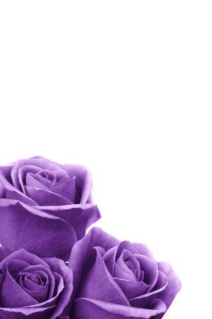 Beautiful purple roses Stock Photo - 3682946
