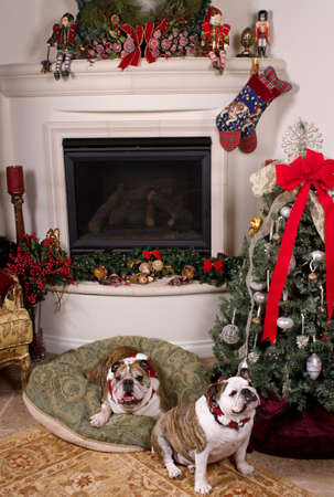 Two freindly bulldogs near the fireplace and the Christmas tree photo