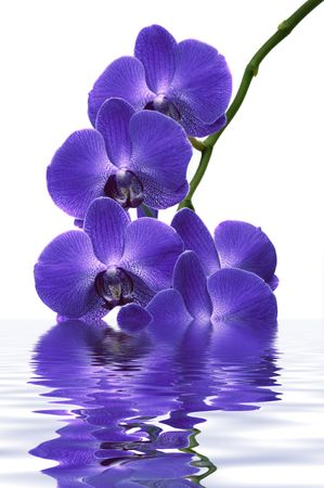 Beautiful tropical orchids with water reflection Stock Photo