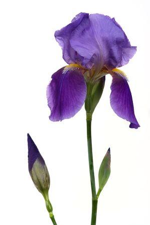 iris fiore: Bella iris fiore