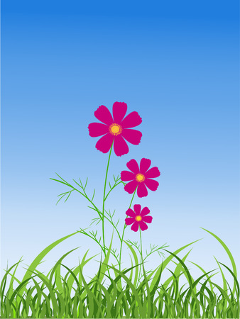 cosmos flower: Cosmos flower in the nature