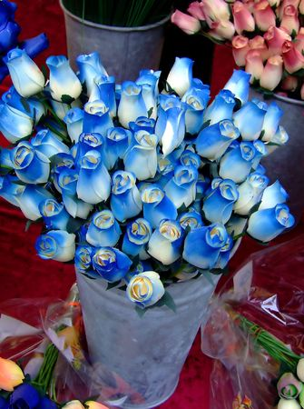 dozens: Buckets of dozens of roses in blue and white colors on a table