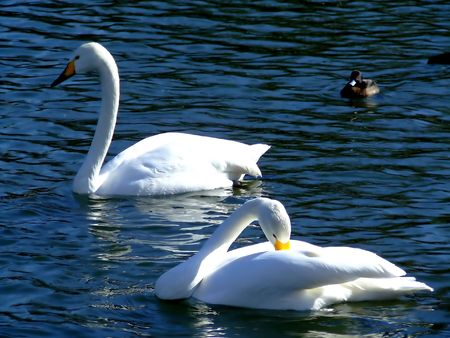Two swans swimming in a lake with a duck in background photo