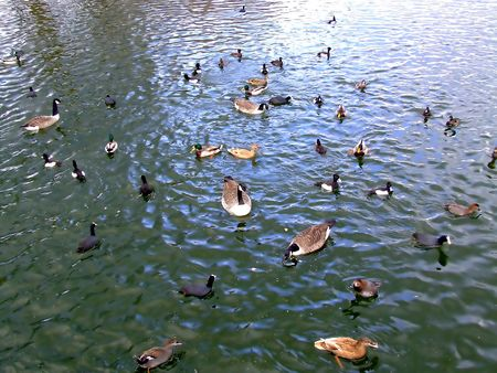 Flock of ducks swimming in a park lake photo
