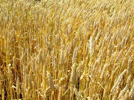 Gold wheat field on the sun Stock Photo - 451150