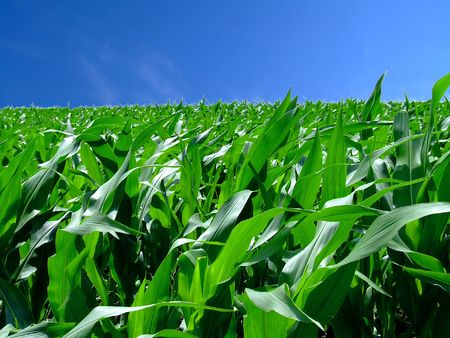 In the middle of green corn field Stock Photo - 458904