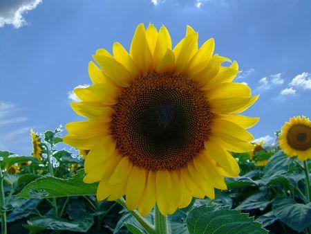 Sunflower on the sun Stock Photo - 458908
