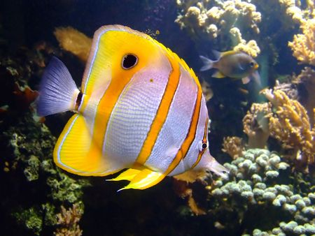 Beautiful clownfish in the tropical coral reef