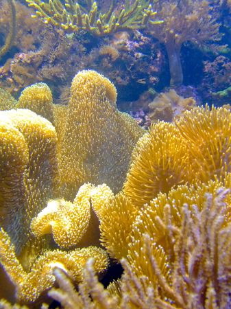 plankton: De los arrecifes de coral de oro con esponja de alga verde Foto de archivo