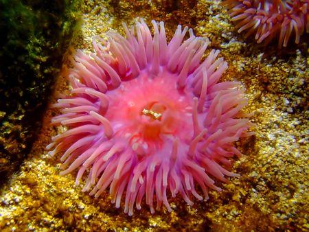 plankton: Hermosa rosa y p�rpura hexadecimal p�lipo de coral