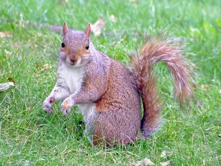 cutie: Cutie brown squirrel in the field look