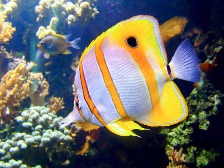 plancton: Beautiful clownfish en los arrecifes de coral tropicales  Foto de archivo