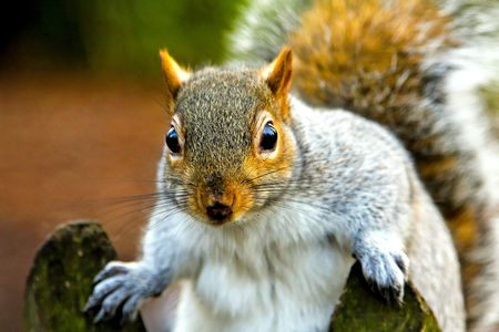 Surprised squirrel in park staring directly into camera photo