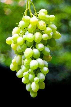 organically: Detail of a grape vineyard grown organically
