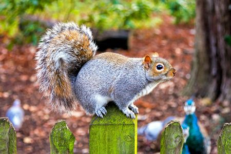 Squirrel resting on a wooden fence in nature photo