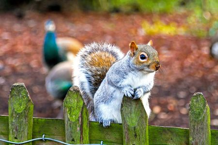 Squirrel jumping on a wooden fence in park photo