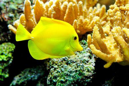 One yellow tang fish in tropical aquarium  Stock Photo - 8201892
