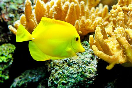 One yellow tang fish in tropical aquarium Stock Photo - 8201892