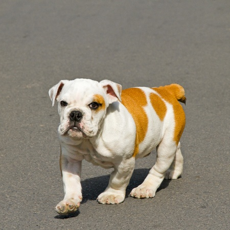 Small English bulldog puppy walking towards camera Stock Photo - 8412540